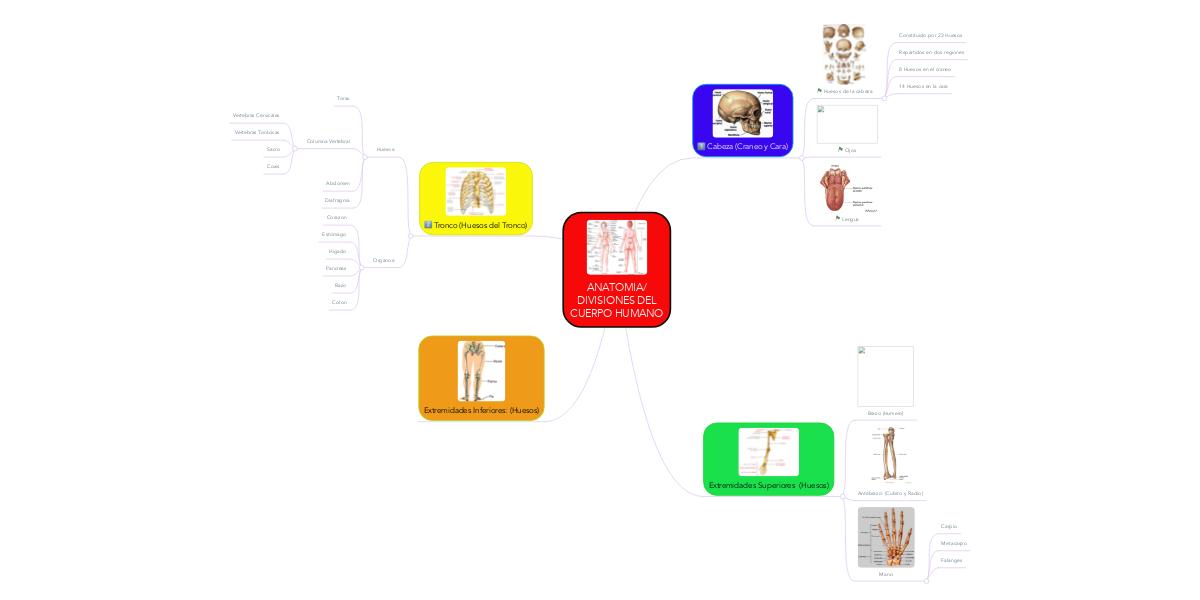 ANATOMIA/ DIVISIONES DEL CUERPO HUMANO (Ejemplo) - MindMeister