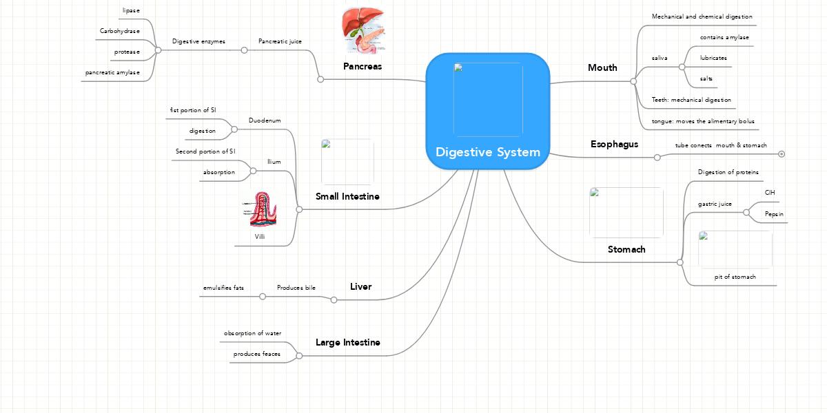 Digestive System Example Mindmeister