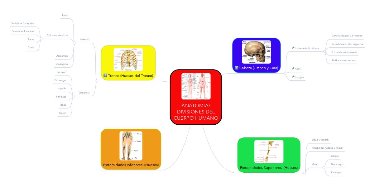 ANATOMIA/ DIVISIONES DEL CUERPO HUMANO (Example) - MindMeister
