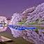 Rosa sakura flor de cerezo japon %282%29