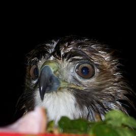 Collage baby hawk