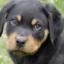 Rottweiler 521x321