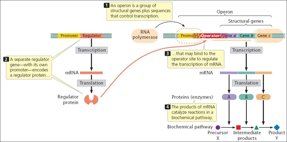 Central Dogma Concept Map