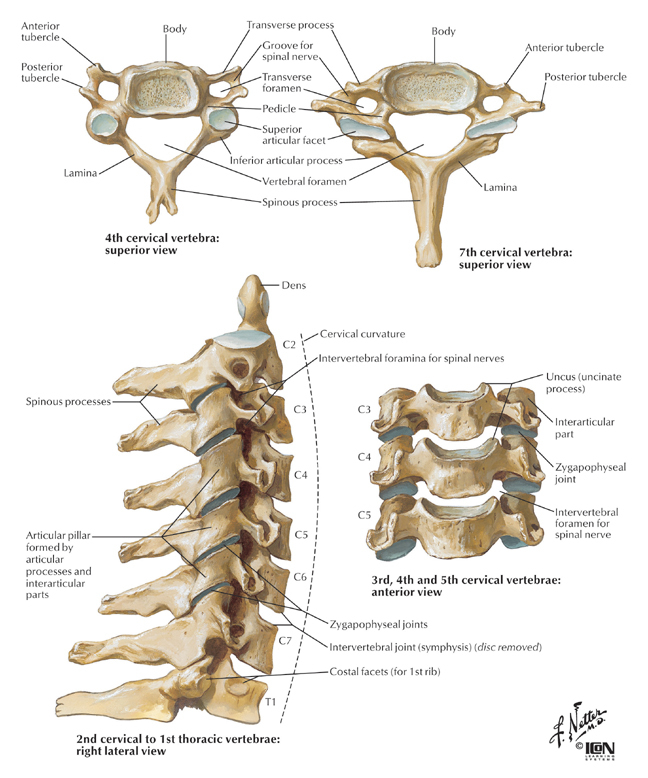 Anatomy Spine Example Mindmeister