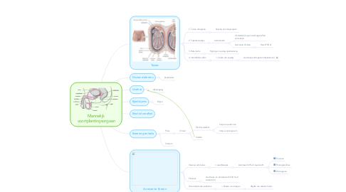 Mind Map: Mannelijk voortplantingsorgaan