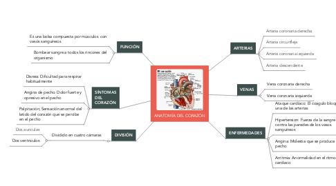 Mind Map: ANATOMÍA DEL CORAZÓN