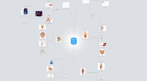 Mind Map: aparatos y sistemas  del cuerpo humano