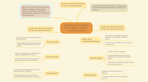 Mind Map: MORFOLOGÍA EXTERNA DE LA MÉDULA ESPINAL: SUSTANCIA GRIS