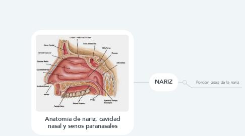 Mind Map: Anatomía de nariz, cavidad nasal y senos paranasales