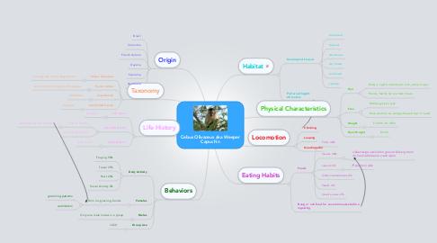 Mind Map: Cebus Olivaceus aka Weeper Capuchin