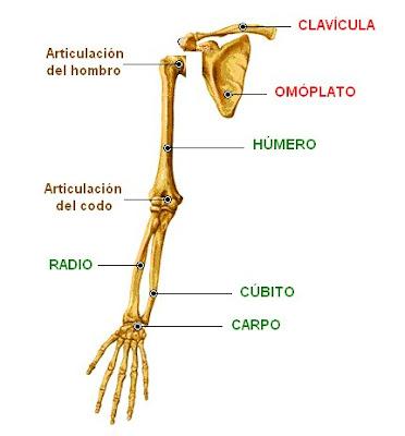 EL ESQUELETO HUMANO (Example) - MindMeister