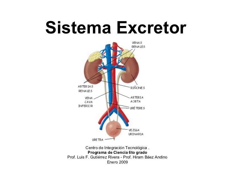 Bonito Sistema Excretor En Humanos Motivo - Anatomía de Las ...