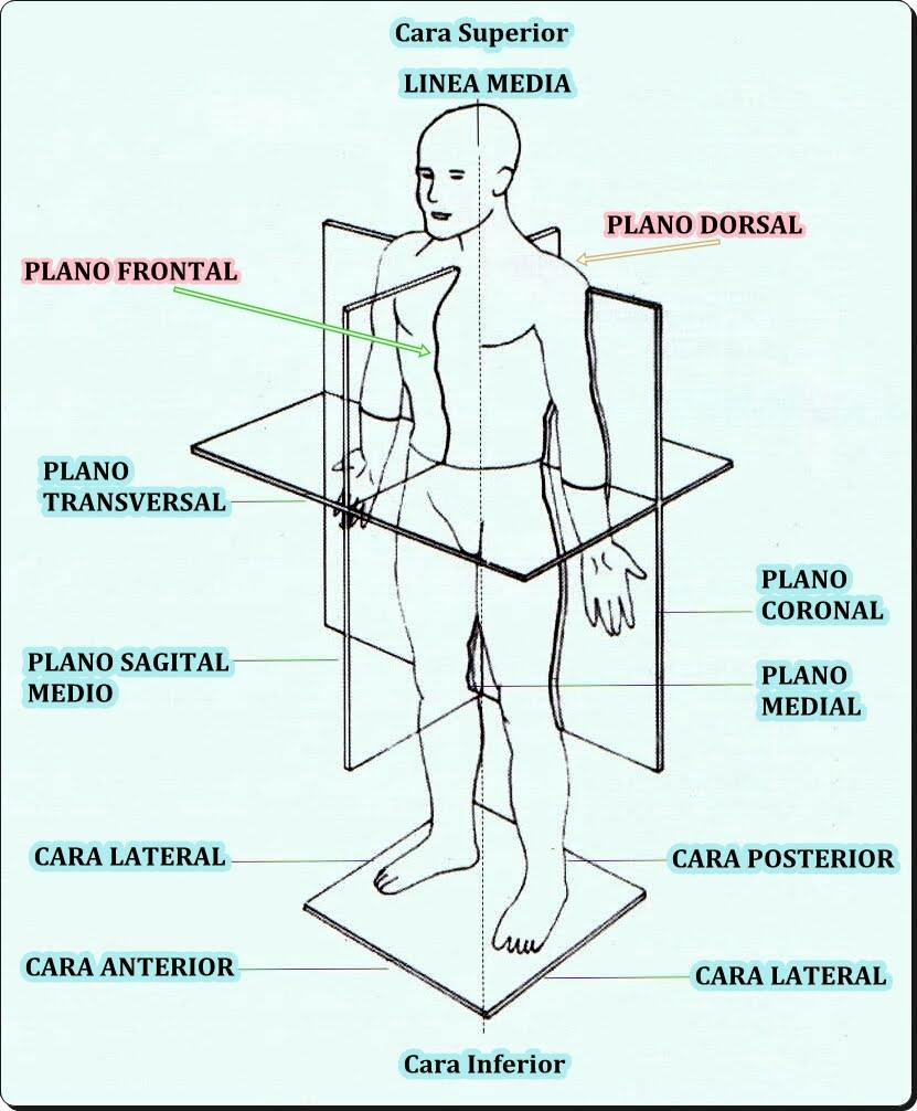 Estructura Anatómica del Cuerpo Humano (Ejemplo) - MindMeister