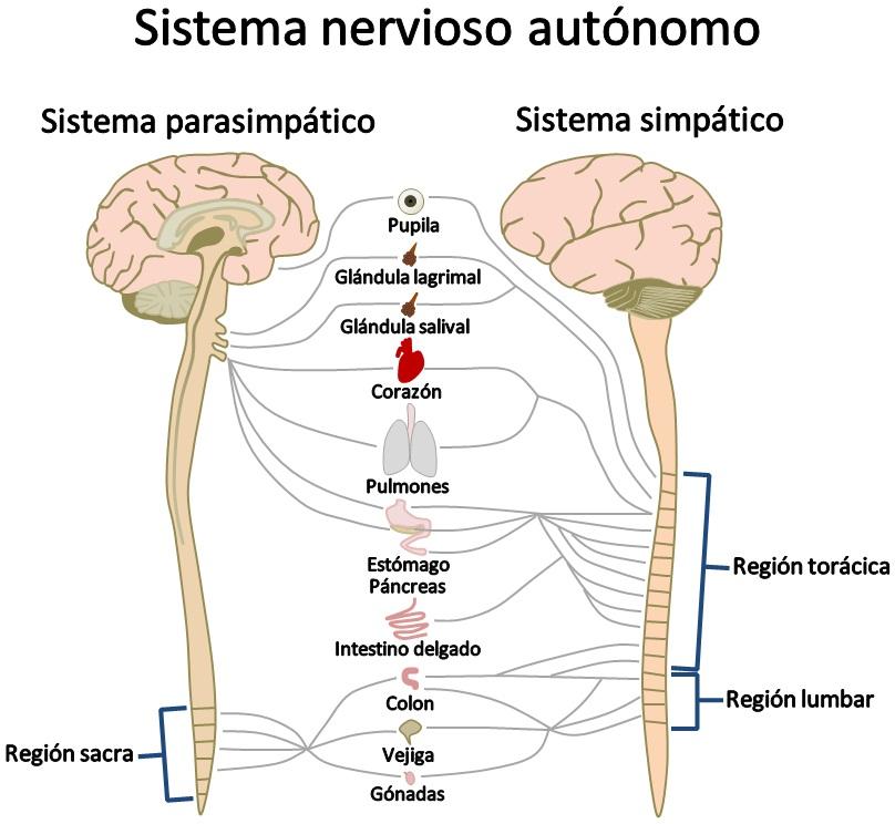 EL CUERPO HUMANO (Exemple) - MindMeister