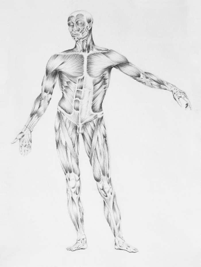 Anatomía Humana (Ejemplo) - MindMeister