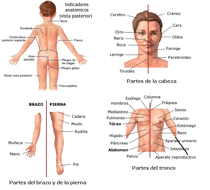 Aspectos Anatómicos Humanos. Tema I Estructuras C... (Ejemplo ...