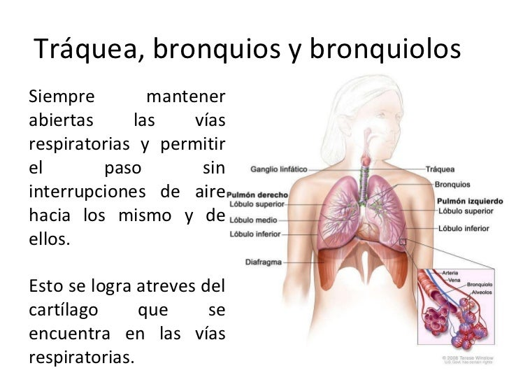El Sistema Respiratorio. (Example) - MindMeister