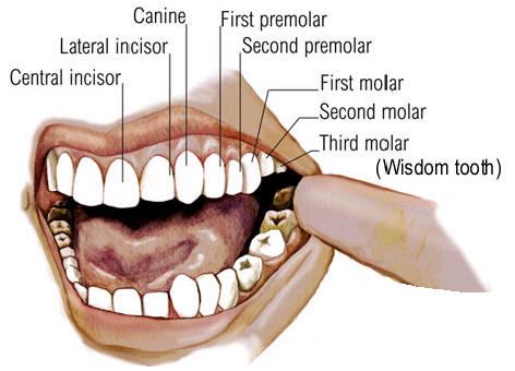 Human Teeth Example Mindmeister