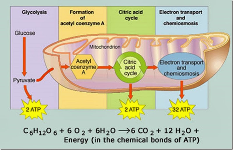 Cellular respiration example mindmeister image not available aerobic respiration ccuart