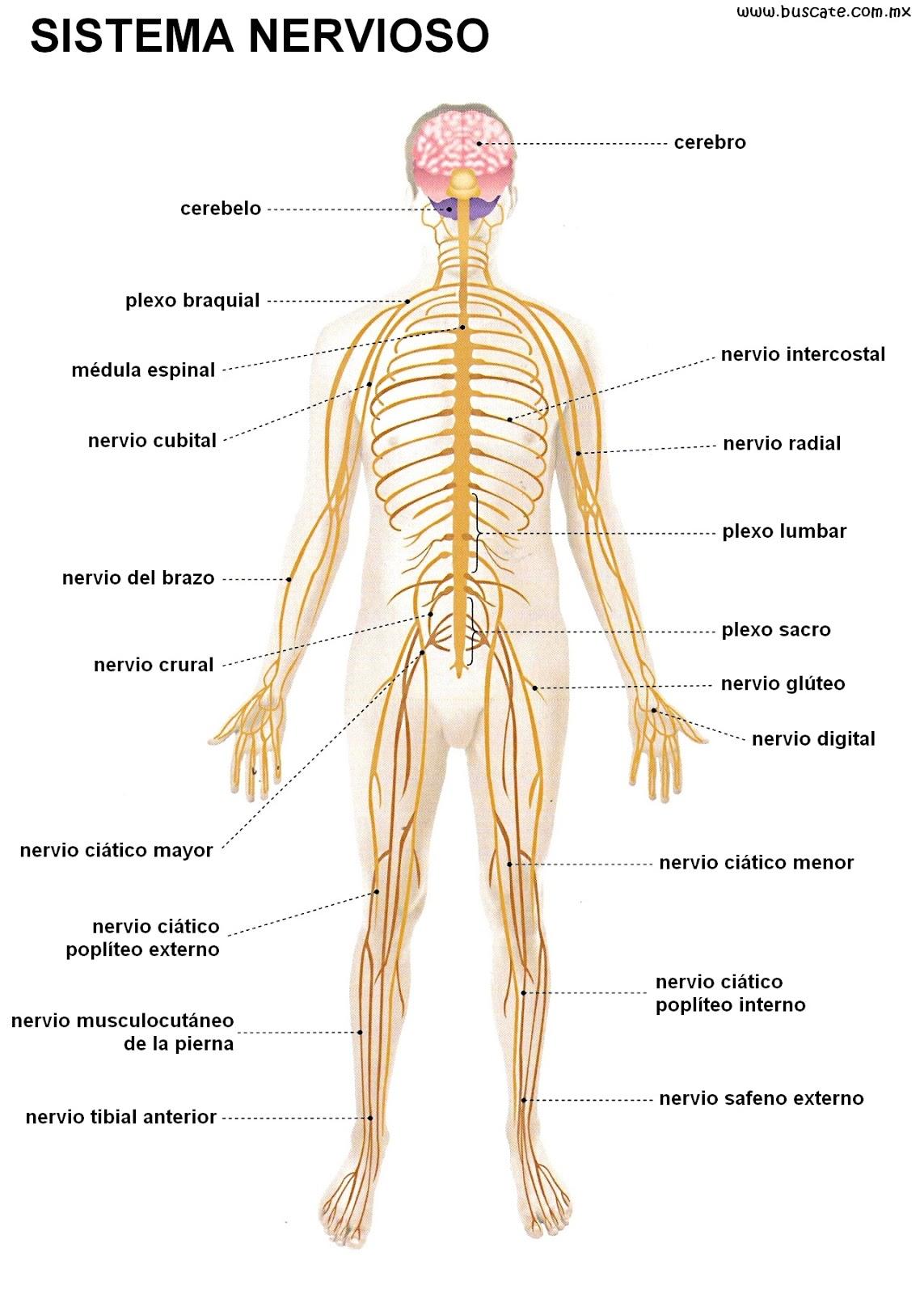 El cuerpo humano (Example) - MindMeister