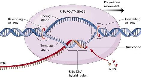 Resultado de imagen de La Célula que inica todo el proceso de replicaci´çon